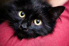 Cute black cat. Adorable, animal, attention, background, beautiful, breed, canadian, domestic, eyes, face, feline, fluffy, funny, fur, grey, kitten, kitty stock photo