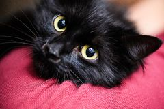 Cute black cat. Adorable, animal, attention, background, beautiful, breed, canadian, domestic, eyes, face, feline, fluffy, funny, fur, grey, kitten, kitty royalty free stock image