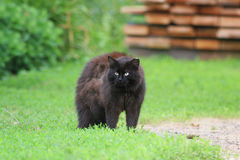 Cute black cat angrily fluffed fur and he arched his back in green grass. In summer stock images