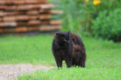Cute black cat angrily fluffed fur and he arched his back in green grass. In summer stock photos