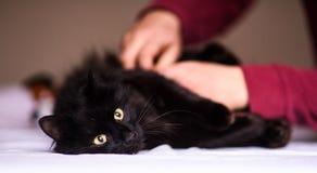 Cute black cat. Adorable, animal royalty free stock photo