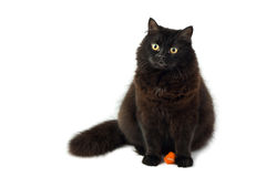 Cute black cat isolated. Sitting cute black fluffy cat isolated Stock Images