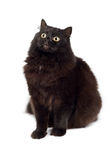 Cute black cat isolated Stock Image