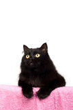 Cute black cat isolated Royalty Free Stock Image
