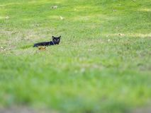 Cute black cat looking at you Royalty Free Stock Photography