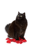 Cute black cat sitting in rose petals isolated Stock Photography