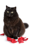 Cute black cat sitting in rose petals isolated Royalty Free Stock Images
