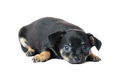 Cute black chihuahua puppy. Cute black chihuahua puppy, isolated on white background image Stock Photo