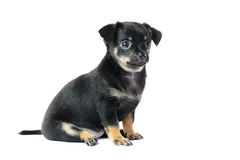 Cute black chihuahua puppy. Cute black chihuahua puppy, isolated on white background image Royalty Free Stock Images