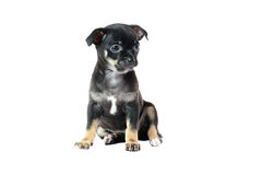 Cute black chihuahua puppy. Cute black chihuahua puppy, isolated on white background image Royalty Free Stock Photos