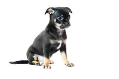 Cute black chihuahua puppy. Cute black chihuahua puppy, isolated on white background image Royalty Free Stock Photo