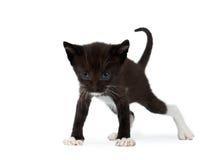 Cute Black Chocolate Kitten on White Stock Image