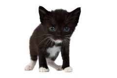 Cute Black Chocolate Kitten on White Royalty Free Stock Photo