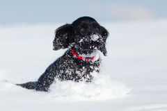 Cocker spaniel puppy runs through the snow Stock Photography
