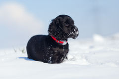 Cute cocker spaniel puppy in the snow Royalty Free Stock Images