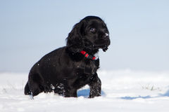 Black cocker spaniel puppy walks in the snow Stock Photography