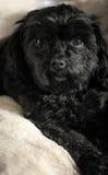 Cute black Dog. Cute black Cavalier King Charles Poodle Cross Dog sitting on a cream fur blanket Royalty Free Stock Photo
