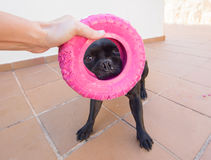Cute black dog holding a pink toy Royalty Free Stock Photos