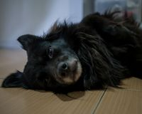 Cute black dog lie on floor. Look at camera Stock Images