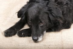 Cute black dog is lying on the floor stock image