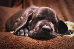 Cute black  dog puppy Royalty Free Stock Photos