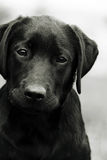 Cute black dog puppy Labrador looking right at you, causing pity Royalty Free Stock Images