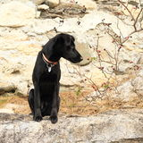Cute black dog Stock Images