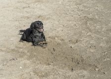 Cute black dog with stick, playing on sandy beach. Sunny day, covered in sand. With copyspace stock photos