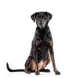 Cute black dog with tan markings Stock Photography