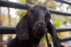 Cute black goat Stock Photo