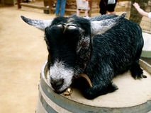 Cute black and grey goat. Adorably cute grey and black young goat, dehorned, with bell Royalty Free Stock Image