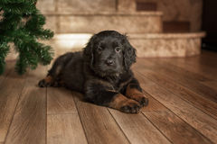 Cute black hovawart puppy. Portrait in home royalty free stock photo