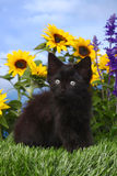 Cute Black Kitten in the Garden With Sunflowers and Salvia Stock Images