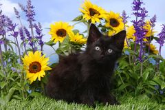 Cute Black Kitten in the Garden With Sunflowers and Salvia Royalty Free Stock Photos