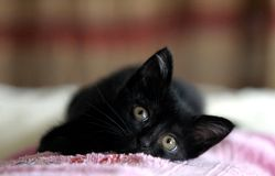 Cute black kitten laying on the sofa royalty free stock image
