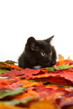 Cute black kitten and leaves Stock Photography