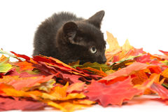 Cute black kitten and leaves Stock Image