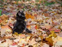 Cute black kitten in leaves Stock Photos