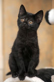 Cute black kitten Stock Images