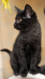 Cute black kitten Royalty Free Stock Photo