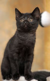 Cute black kitten Stock Image