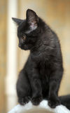 Cute black kitten Stock Photography