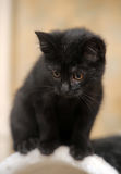 Cute black kitten Royalty Free Stock Photos