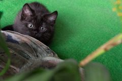 Cute black kitten preparing to pounce. British black kitten crouched ready to jump on the goal Stock Photos