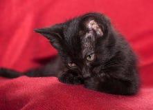Cute black kitten Stock Photography