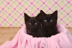 Cute Black Kittens on Pink Pretty Background Stock Photography
