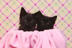 Cute Black Kittens on Pink Pretty Background Royalty Free Stock Image