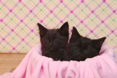 Cute Black Kittens on Pink Pretty Background Royalty Free Stock Images