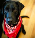 Cute Black Lab with Red Bandana stock images