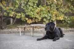 Cute labrador chilling in backyard. Cute black labrador chilling in backyard stock photo